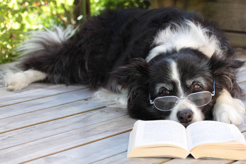 Elderly Retired Border Collie Dog Relaxing on Deck with a Book