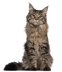 Fototapete - Maine Coon cat, 7 months old, sitting