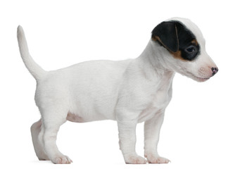 Jack Russell Terrier puppy, 7 weeks old, standing