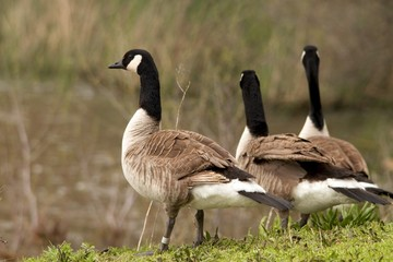 Banded Goose