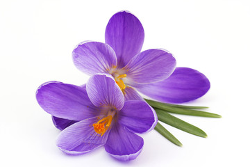 crocus - flowers of spring