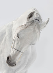 Wall Mural - white horse