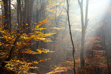 autumn landscape of a forest, with fog