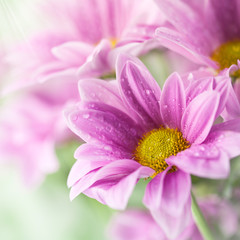 Wall Mural - Pink daisy flowers in soft light