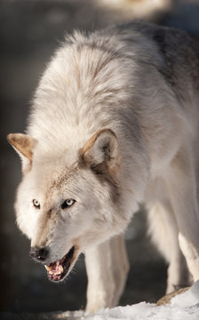 Snarling Arctic Wolf