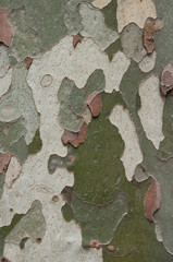 Camouflage pattern like Platanus (sycamore) tree bark