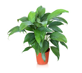 House plant – Peace lily