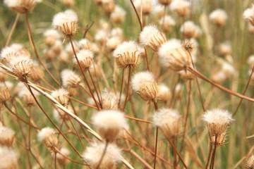 weiche Strohblumen