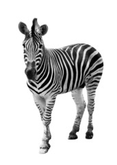 Aluminium Prints Zebra Zoo single burchell zebra isolated on white background