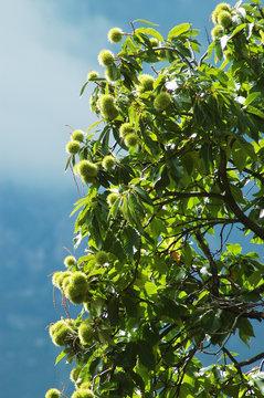Sweet european chestnut tree in Castagniccia, Corsica