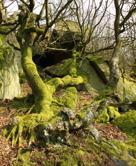 Gnarled moss covered tree and roots