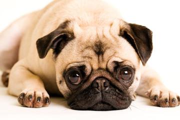 Sad Pug Dog Laying Down