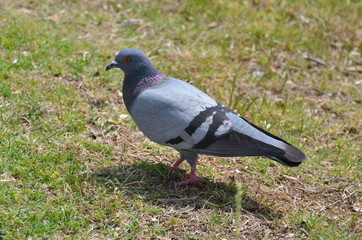 Pigeon on the lawn