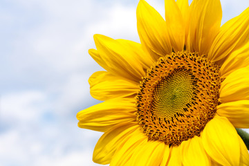 Sunflower nature background