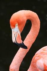 Carribean Flamingo Bird