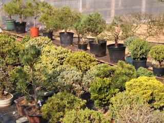 Bonsaibäume im Topf