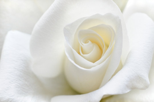 Soft white rose