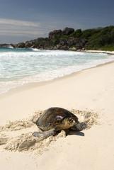Hawksbill turtle, Seychelles