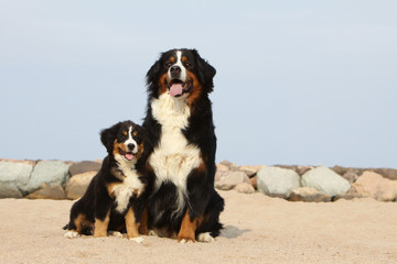 bernese mountain dog and her puppy on the beach