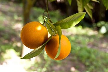 Due arance appese ad un albero in Sicilia