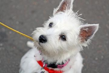 west highland terrier 1