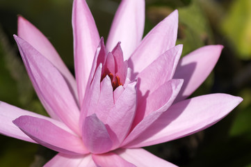 Nimphea. Water lily of Borneo.