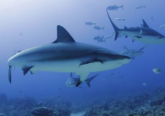 large caribbean reef shark, roatan, honduras