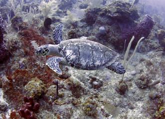 green turtle swimming tropical reef, roatan, honduras