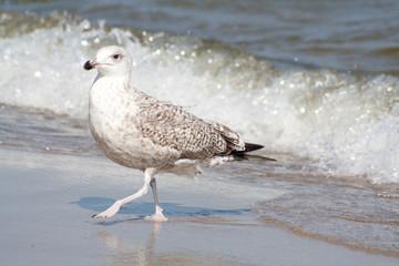 Möwe stolziert am Strand