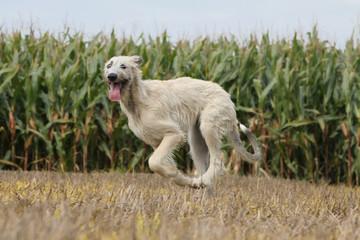 irish wolhound au galop de profile