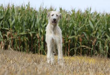 chien de genre lévrier debout de face