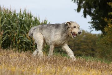 belle démarche de l'irish wolhound
