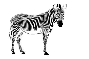 zebra staying isolate