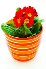red primrose in the ceramic pot