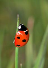 7- Spot Ladybird (Coccinella 7-punctata)