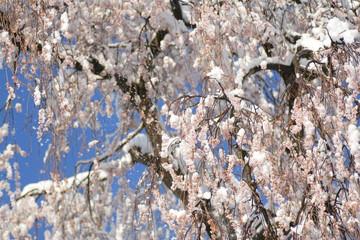 雪の枝垂桜 Drooping Cherry and Snow