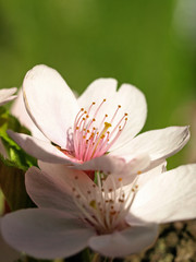 Closeup Picture of Cherry Blossom