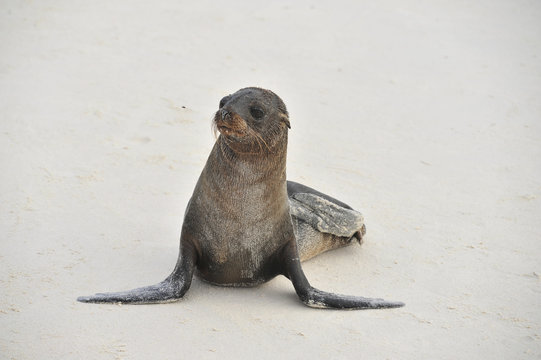 baby walrus on the beach