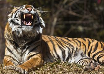 Tiger roarr