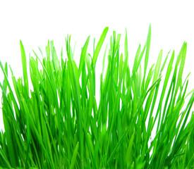 fresh bright grass on white background