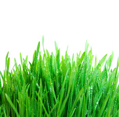 green grass with dew isolated on white