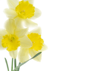 Bouquet of yellow narcissus isolated on white
