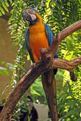 Big parrot (Green wings macaw)