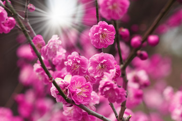 Poster Pink blossoming cherry blossom with sunrays