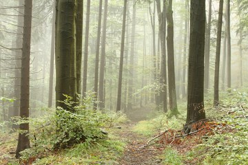 Keuken foto achterwand Bos in mist Path leading through a misty beech forest in a nature reserve