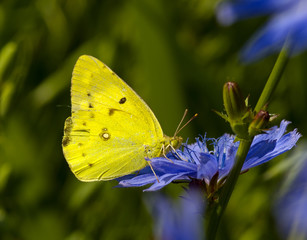 The butterfly on a chicory flower