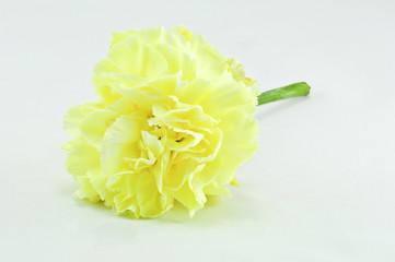 Yellow Carnation Isolated on white background