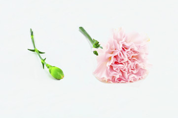 Pink Carnation bloom Isolated on white background