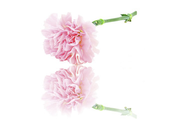 Pink Carnation reflection Isolated on white background