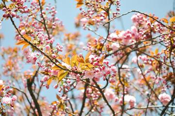 Kirschblüte. Anfang des Frühlings